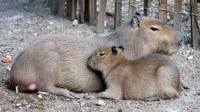 Capybara 3 Fotos de archivo libres de regalías