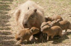 Capybara Photo libre de droits