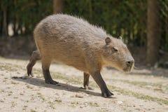 Capybara Imagens de Stock