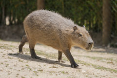 Capybara Stockbilder