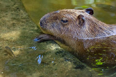 Capybara Photographie stock