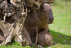 Capybara Arkivfoto