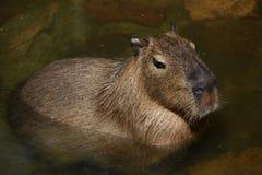 Capybara Royalty-vrije Stock Afbeelding
