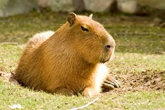 Capybara. This is a capybara, the largest member of the rodent family Royalty Free Stock Photography