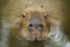 Free Capybara Stock Photo - 33729420
