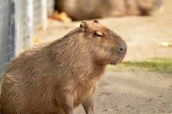 Capybara, Στοκ εικόνες με δικαίωμα ελεύθερης χρήσης