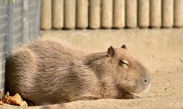 Capybara, Photographie stock