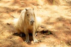 Capybara Stockbild