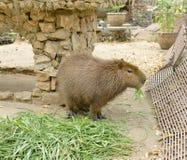 Capybara Στοκ Εικόνα