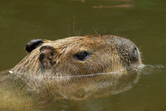 Free Capybara Royalty Free Stock Photography - 38385677