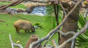 Capybara Lizenzfreies Stockbild