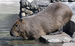 Capybara Fotografia de Stock
