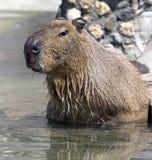 Capybara Royalty-vrije Stock Foto's