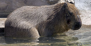 Capybara Arkivfoton