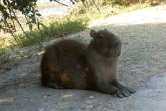 Capybara Στοκ Φωτογραφίες