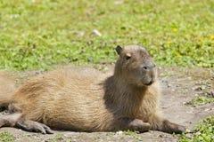 Capybara Lizenzfreie Stockbilder