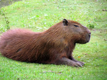 Capybara Stockfotos