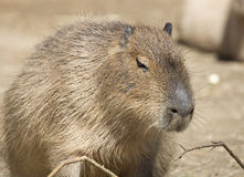Capybara Photo stock