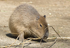 Capybara Royaltyfri Fotografi