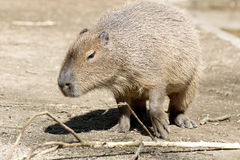 Capybara Stock Afbeelding