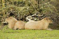 Capybara Στοκ εικόνα με δικαίωμα ελεύθερης χρήσης