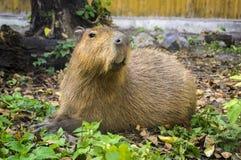 Capybara stock foto