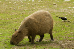 Free Capybara Royalty Free Stock Images - 57803339