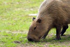 Capybara Imágenes de archivo libres de regalías