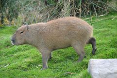 Capybara Foto de archivo