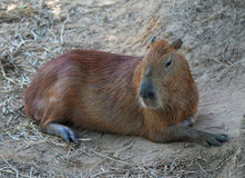 Capybara Fotografie Stock Libere da Diritti