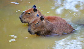 Capybara Photo stock