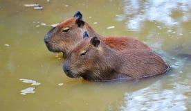 Capybara Fotografia Stock