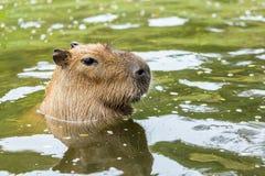 Capybara Imagen de archivo libre de regalías