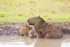 Capybara images libres de droits