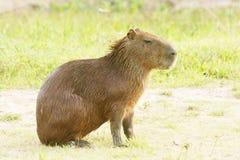 Capybara Fotos de Stock