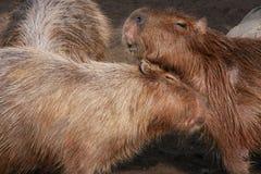 Capybara Arkivbild