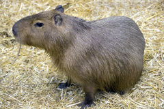 Capybara 7 Stock Photo