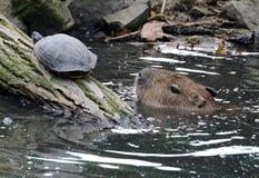 Capybara royaltyfria foton