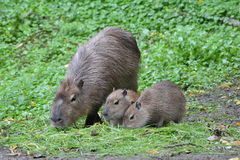 Capybara Photos stock