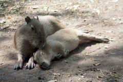 Capybara Fotos de Stock Royalty Free