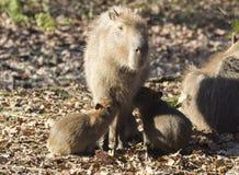 Capybara Imagem de Stock Royalty Free