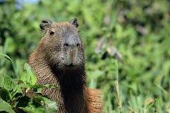 Capybara Stock Foto's