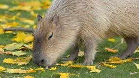 Capybara achter de herfstbladeren stock video