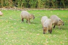 Capybara al sole fotografia stock