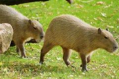 Capybara al sole fotografia stock libera da diritti