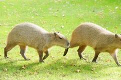 Capybara al sole immagine stock