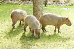 Capybara al sole immagini stock