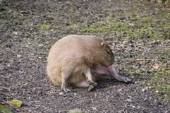 Capybara At The Artis Zoo Amsterdam The Netherlands. 2018 royalty free stock images