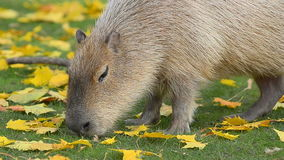 Capybara behind autumn leaves stock video