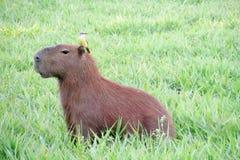 Capybara with a bird on its head Royalty Free Stock Photography